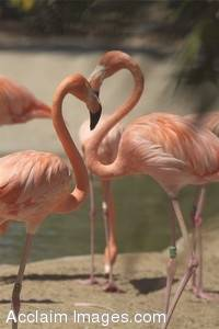Stock Photo of Two Flamingos Forming a Heart Shape