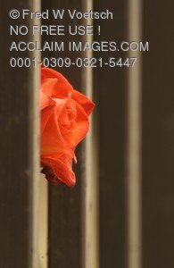 Stock Photo of a Rose Peeking Through Fence