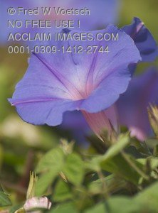 Stock Photo of a Purple Morning Glory Flower