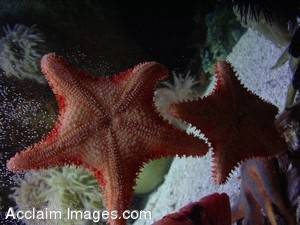 Picture of Starfish Clinging to Glass