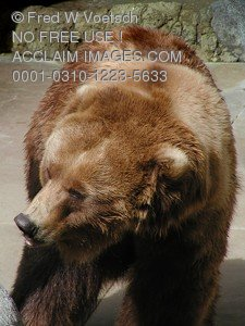 Stock Photo of an Alaskan Brown Bear