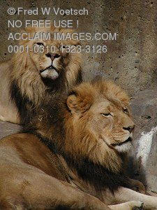 Stock Photo of Two Lions