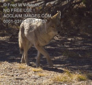 Stock Photo of a Coyote in Yellowstone National Park