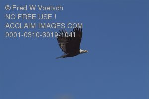 Stock Photo of a Bald Eagle in Flight