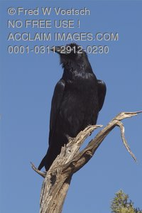 Stock Photo of a Raven or Crow