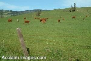 Stock Photo of Cows Grazing in a Pasture