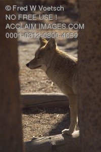 Stock Photo of a Coyote in Yellowstone National Park, Wyoming