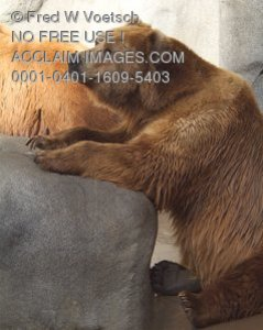 Stock Photo of a Brown Bear Sitting Up