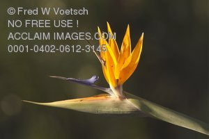 Stock Photo of a Bird of Paradise Flower