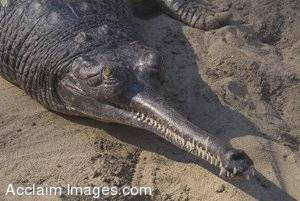 Stock Photo of Crocodile with a Narrow Nose