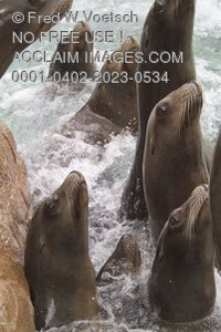 Stock Photo of Seals and Sea Lions