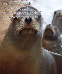 Stock Photo of a Sea Lion