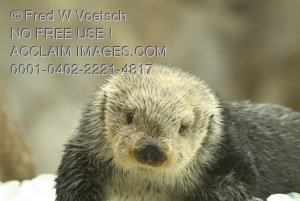 Stock Photo of a Sea Otter