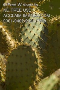 Stock Photo of a Prickly Pear Cactus