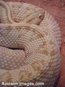 Picture of a Neotropical Rattlesnake Coiled Up