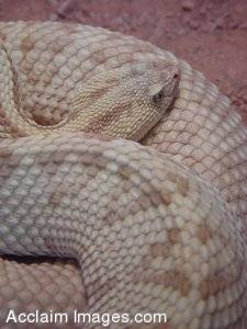 Stock Photograph of a Neotropical Rattlesnake