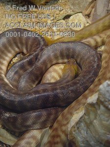Stock Photo of Woma Snakes