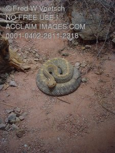 Stock Photo of a Rattlesnake