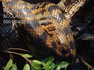 Stock Photo: of a Amethystine Python Snake