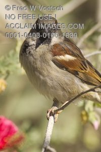 Stock Photo of a Sparrow