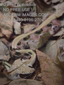 Clip Art Stock Photo of an African Gaboon Viper Snake