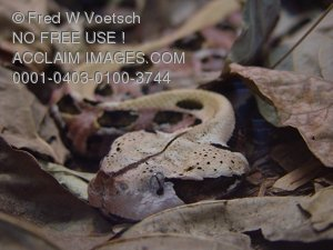 Stock Photo of an African Gaboon Viper Snake