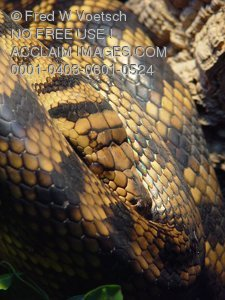 Stock Photo of an Amethystine Python Snake