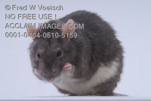 Stock Photo of a Rat