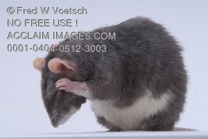 Stock Photo of a Mouse