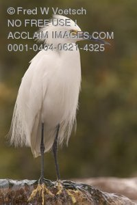 Stock Photo of a Snowy Egret