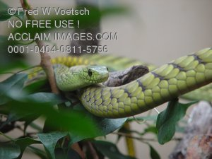 Stock Photo of a Green Mamba Snake