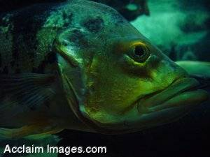 Stock Photo of a Big Fish Face