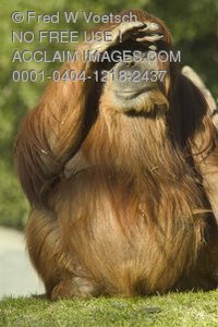 Stock Photo of an Orangutan