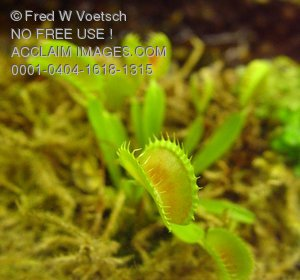 Stock Photo of a Venus Flytrap