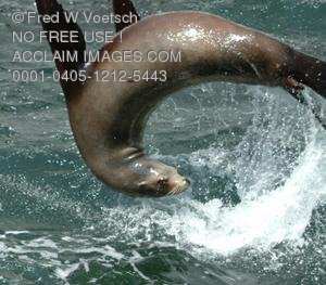 Stock Photo of a Seal Flipping