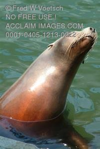 Stock Photo of a Seal With Its Head Out of the Water