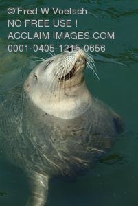 Clip Art Stock Photo of a Swimming Seal With His Nose Up