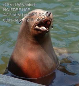 Clip Art Stock Photo of a Sea Lion With His Mouth Open
