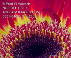 Clip Art Stock Photo of a Yellow and Red Daisy Flower