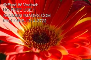Stock Photo of a Red and Yellow Daisy
