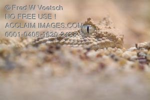 Stock Photo of a Horned Viper Snake, Camouflaged