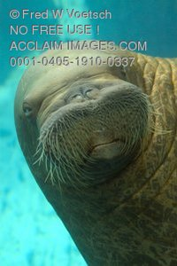 Stock Photo of a Walrus Face