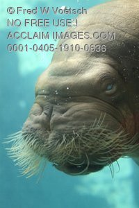Stock Photo of a Walrus