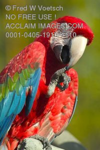 Stock Photo of a Greenwing Macaw Parrot