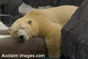 Polar Bear Slumbering on a Log Stock Photo