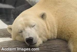 Stock Photo of a Polar Bear Sleeping
