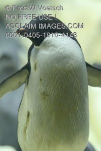Clip Art Stock Photo of an Adelie Penguin With It
