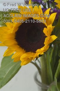 Stock Photo of a Sunflower