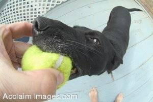 Funny Stock Photo of a Dog With a Tennis Ball