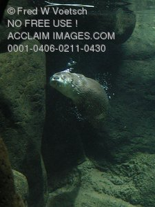 Stock Photo of a River Otter